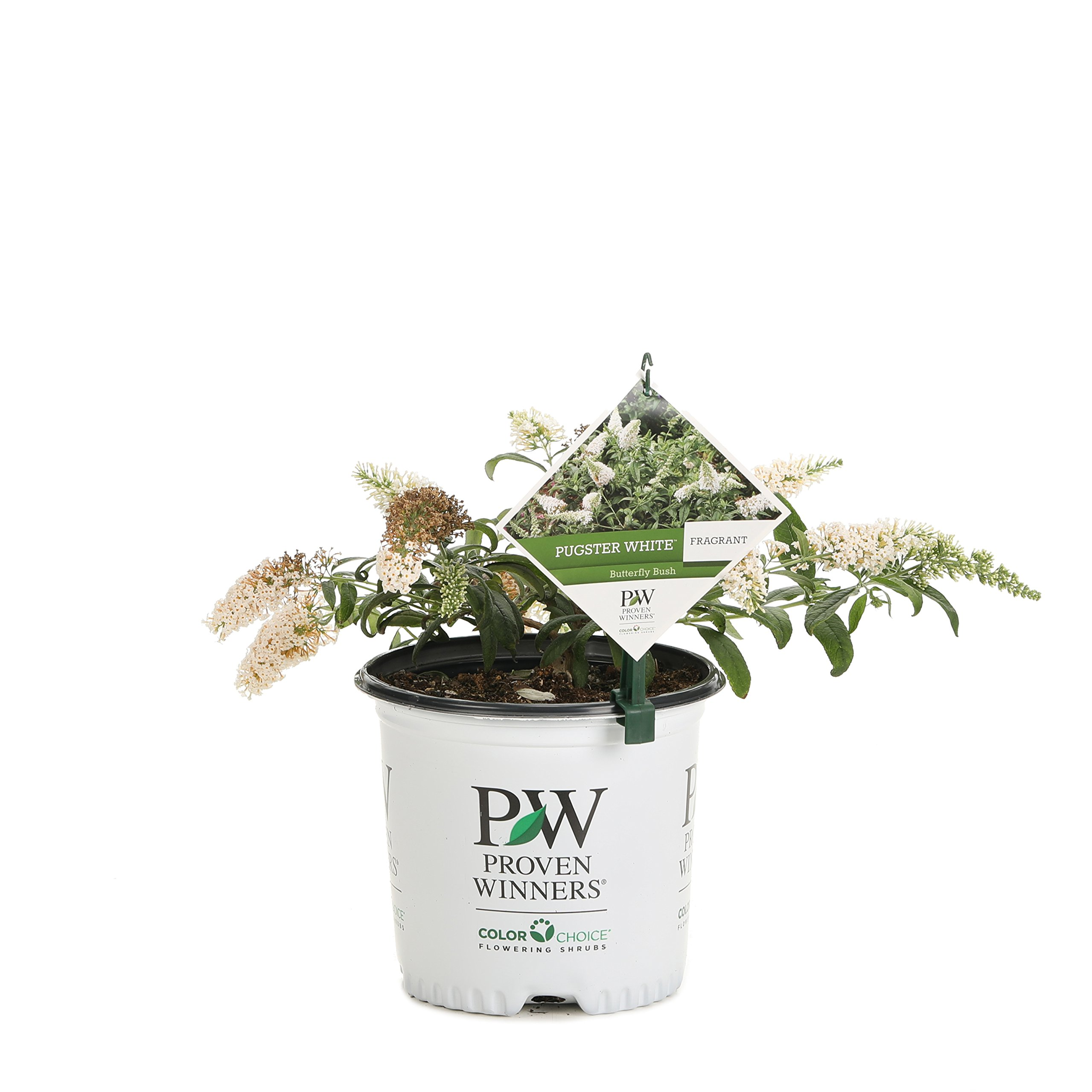 Pugster White Butterfly Bush (Buddleia) Live Shrub, White Flowers, 1 Gallon