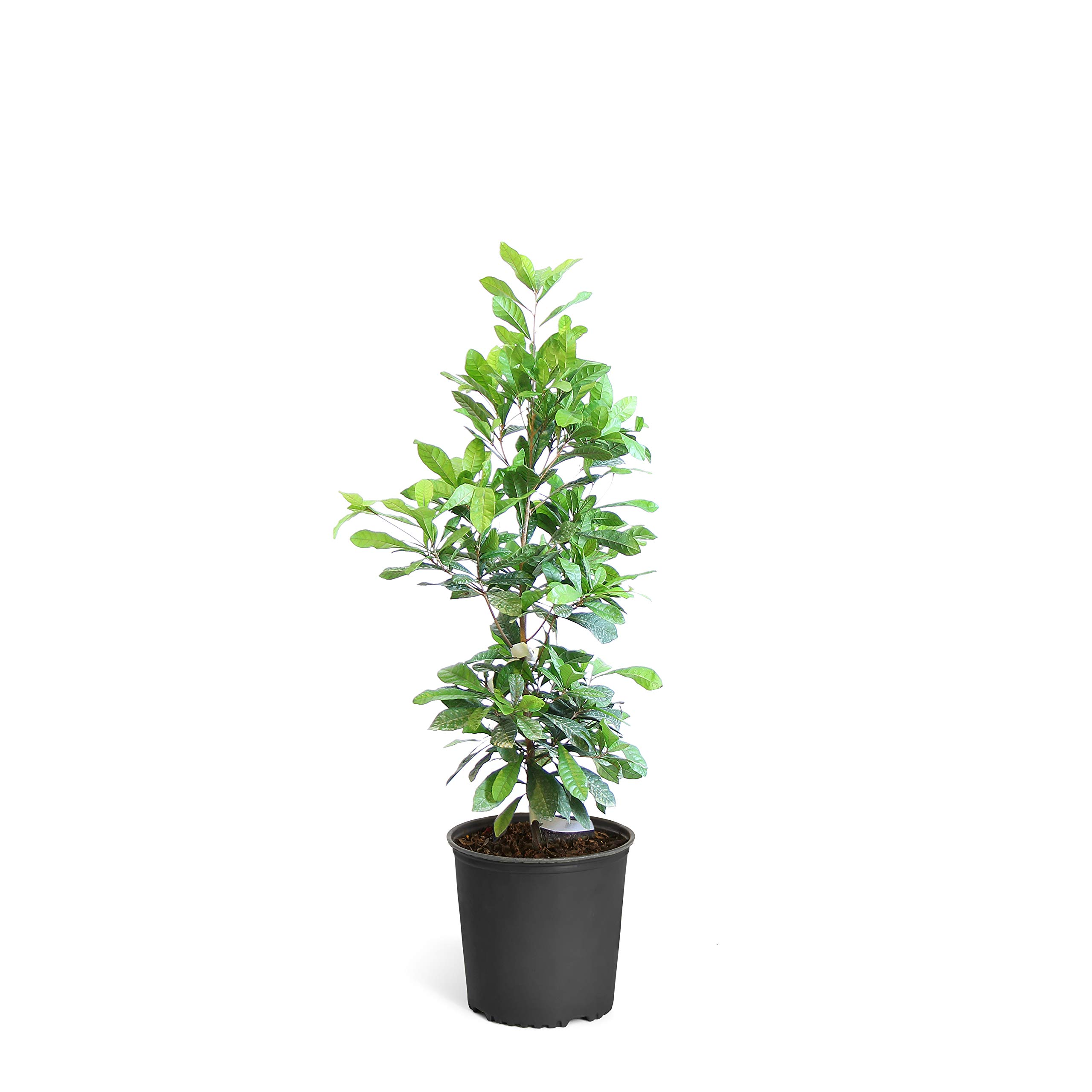 Miracle Berry - Miracle Fruit Plant - 3 Gallon Plant | Cannot Ship to AZ by Brighter Blooms (Image #1)