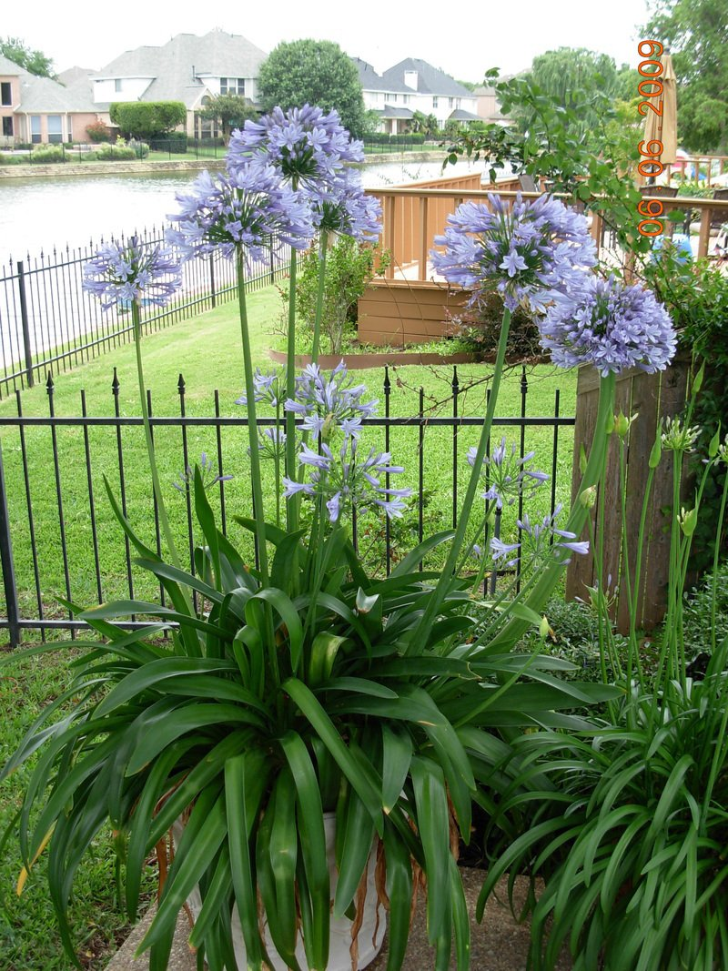 Agapanthus Lily of the Nile Qty 60 Live Plants Groundcover by Florida Foliage (Image #3)