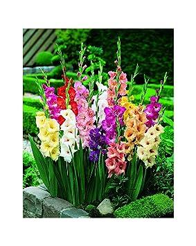 Lot de 100 Glaïeuls Ampoules/Corme Variétés de fleurs d\'été Offre ...