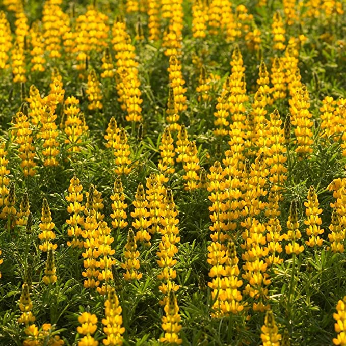 Groseeds perennial flowers lupin chandelier fp lup 01 45 groseeds perennial flowers lupin chandelier fp lup 01 45 seeds minimum per packet amazon garden outdoors aloadofball Image collections
