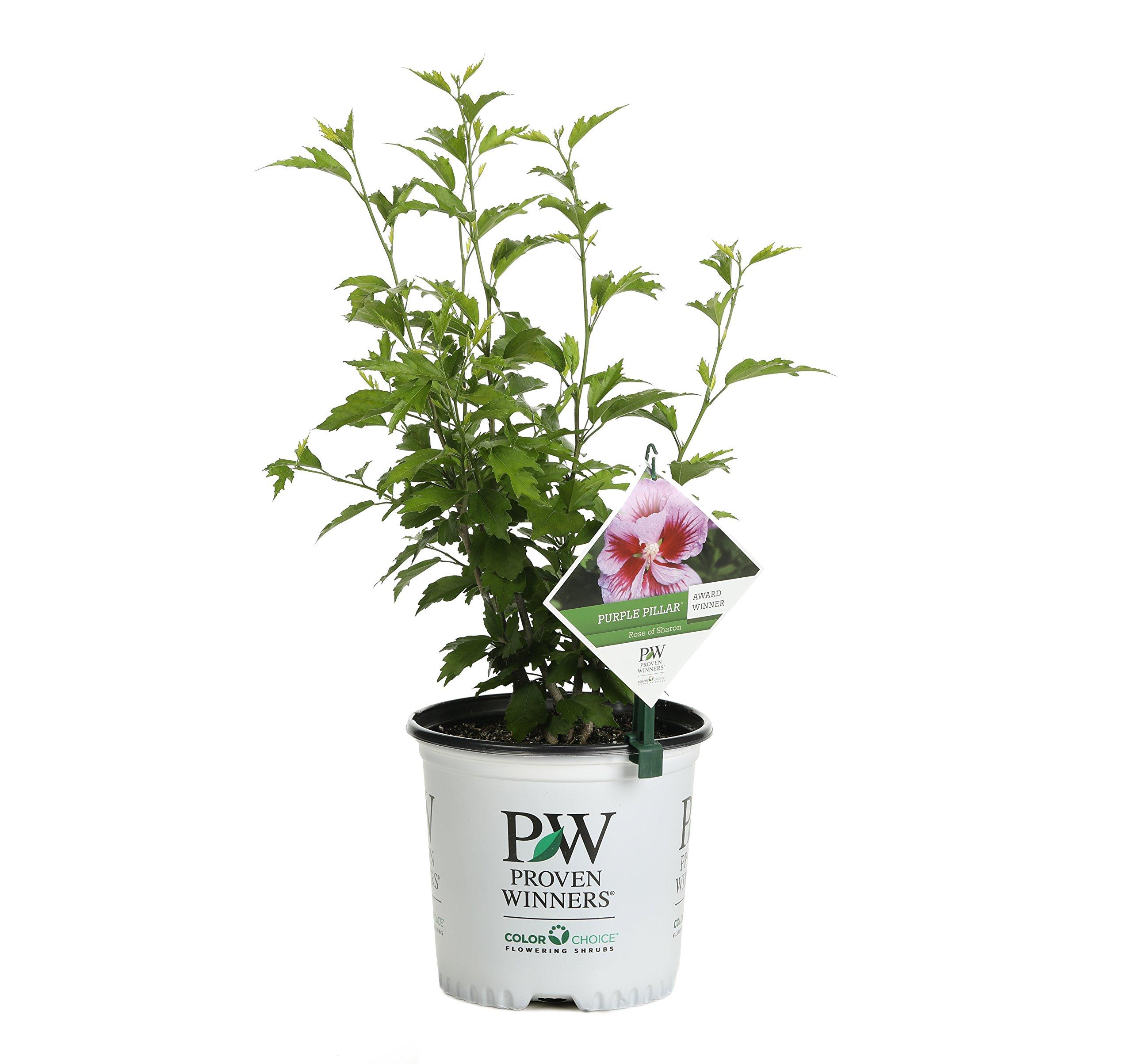 Purple Pillar Rose of Sharon (Hibiscus) Live Shrub, Purple Flowers, 1 Gallon by Proven Winners