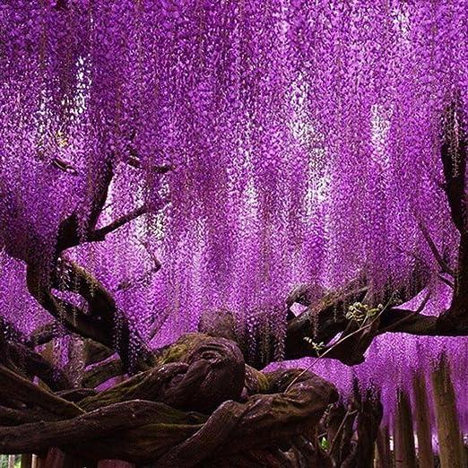Masoke SemillaCasa - Semillas de flores chinas Wisteria Sinensis, un Sueño Resistente al Invierno Escalador Fuerte (# 1 (5 pcs)): Amazon.es: Jardín