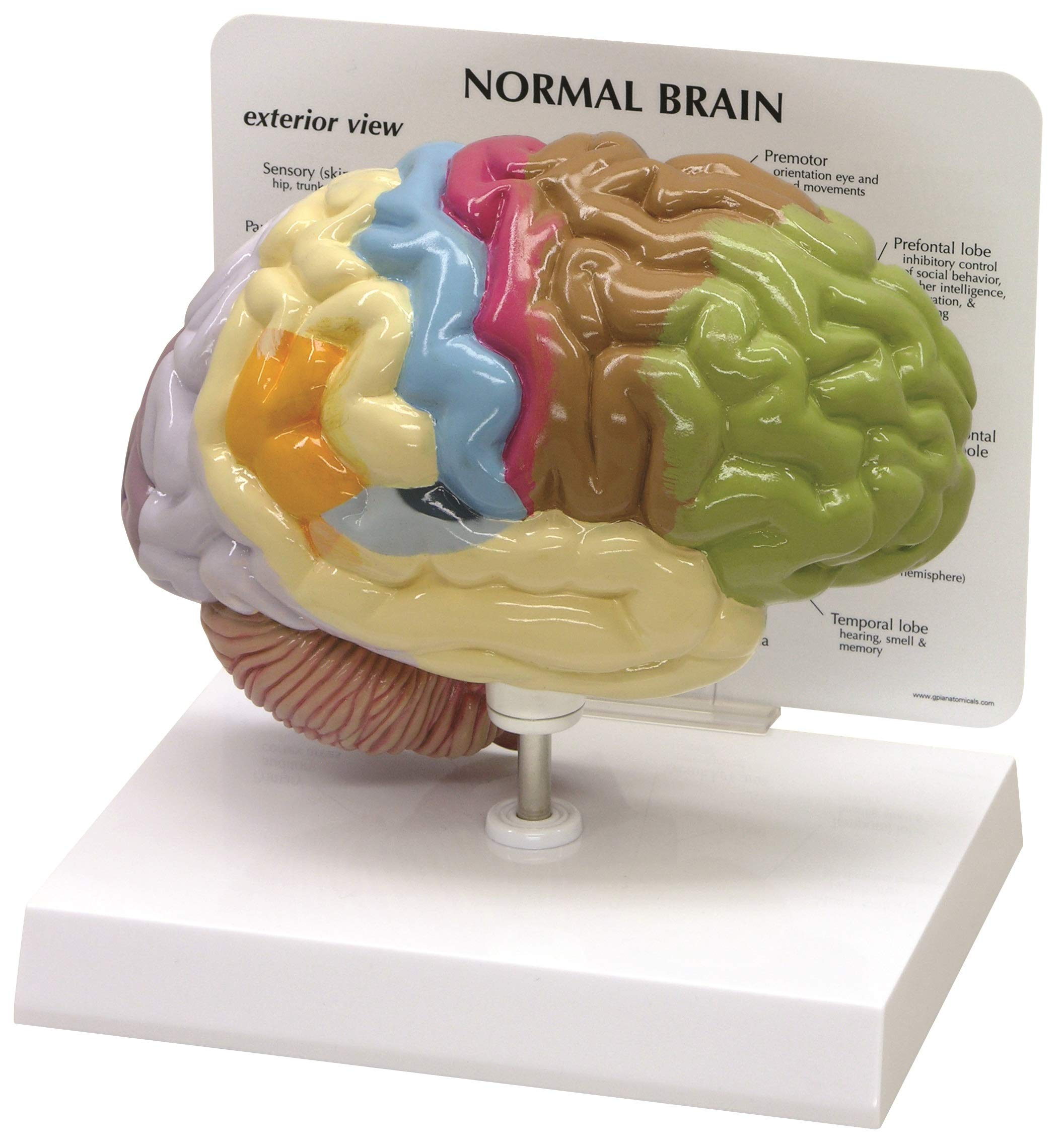 Human Brain Anatomical Model - Half Brain