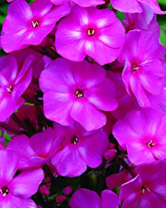 First Editions Bubblegum Pink Candy Store Garden Phlox - Phlox Pan. Bubblegum Pink - 19cm