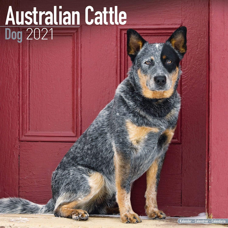 Amazon.: Australian Cattle Dog Calendar 2021   Dog Breed