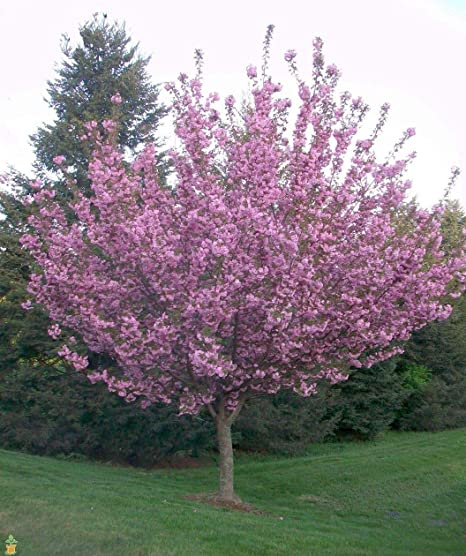 Amazon 2 Gallon Kwanzan Cherry Tree Blooms In Clusters Of