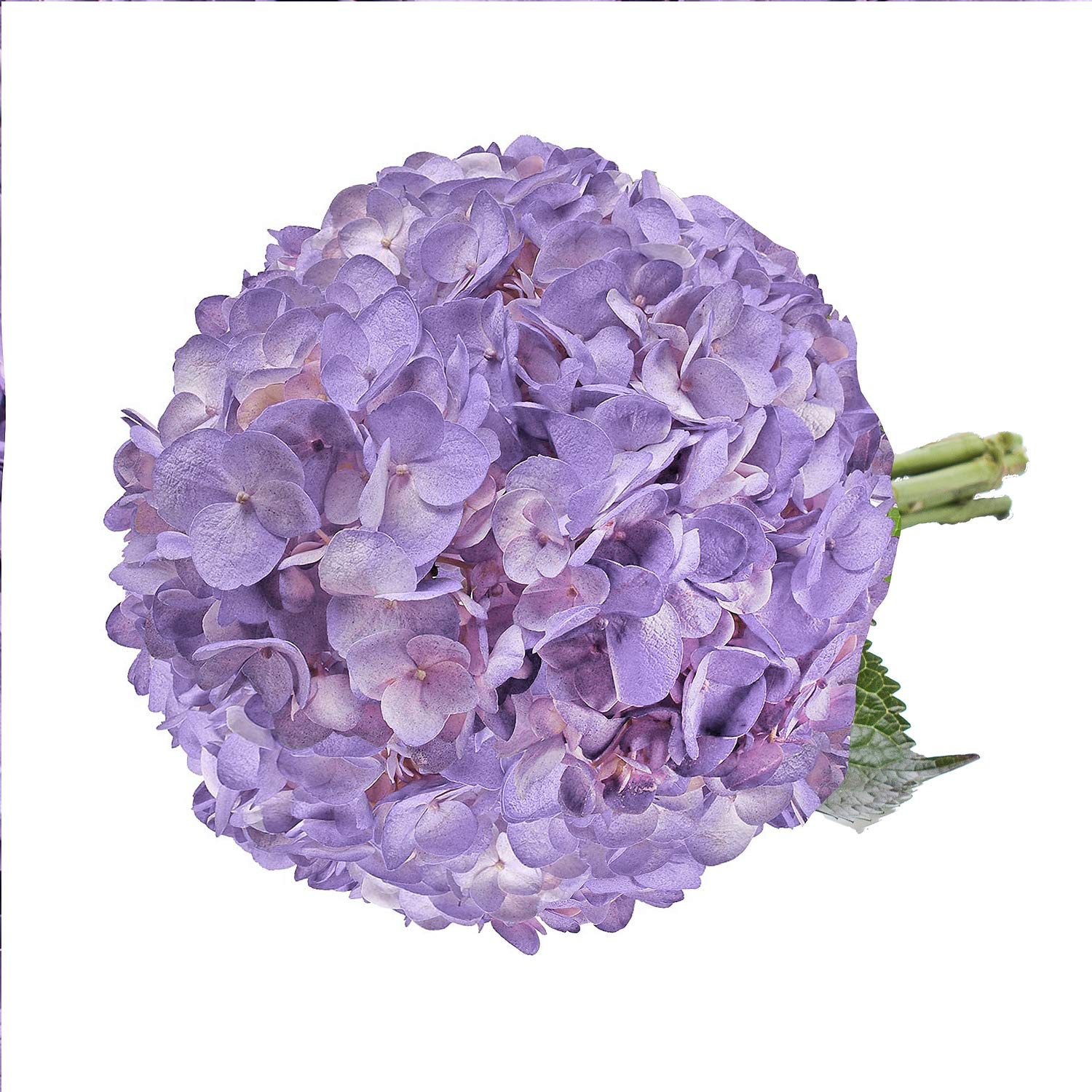 Farm Fresh Natural Painted Lavender Hydrangeas - Pack 15 by Bloomingmore (Image #3)