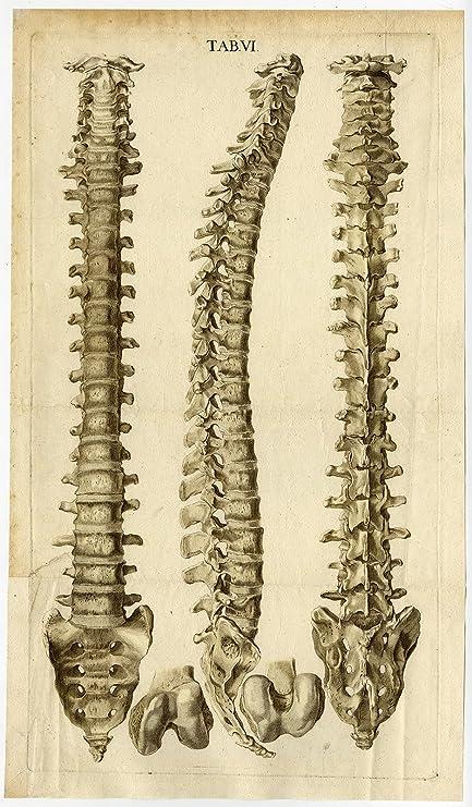 Amazon Antique Print Human Anatomy Vertebral Column Spine