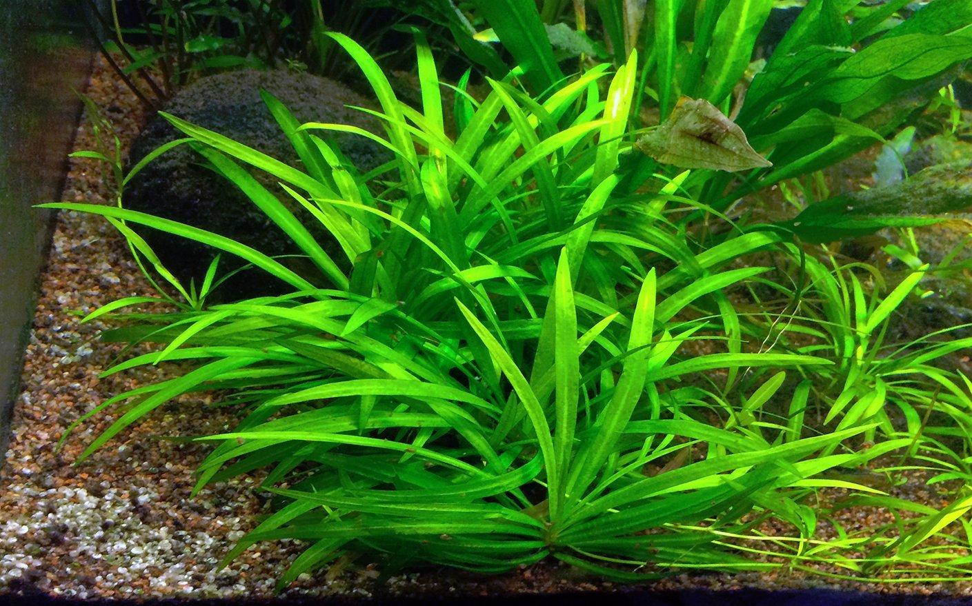 10 x Acuario Plantas vivos - Echinodorus quadricostatus - Enano Amazon Sword Fish Tank Plantas espadas: Amazon.es: Productos para mascotas