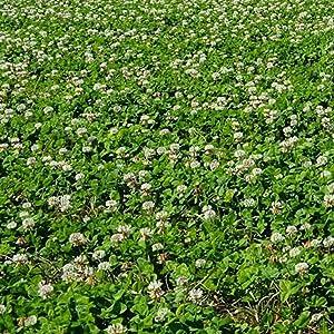 New Zealand Clover - 5 LB Bulk ~3,750,000 Seeds - Non-GMO, Open Pollinated - Farm & Garden Cover Crop, Ground Cover, Erosion Control Seeds