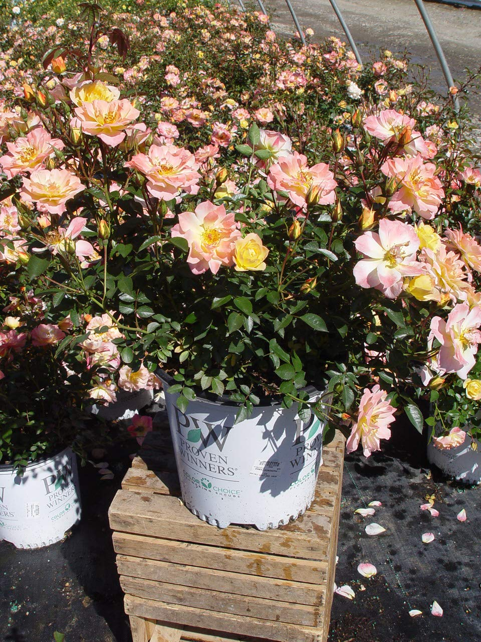 Proven Winners - Rosa OSO EASY Italian Ice (Rose) Rose, yellow w/pink, #2 - Size Container by Green Promise Farms (Image #2)