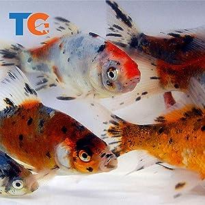 Toledo Goldfish Live Shubunkin Goldfish for Ponds, Aquariums or Tanks – USA Born and Raised – Live Arrival Guarantee