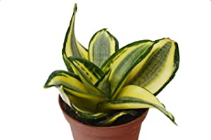 "Snake Plant 'Gold Hahnii' in 4"" Pot - Sansevieria - Live Plant - FREE Care Guide"