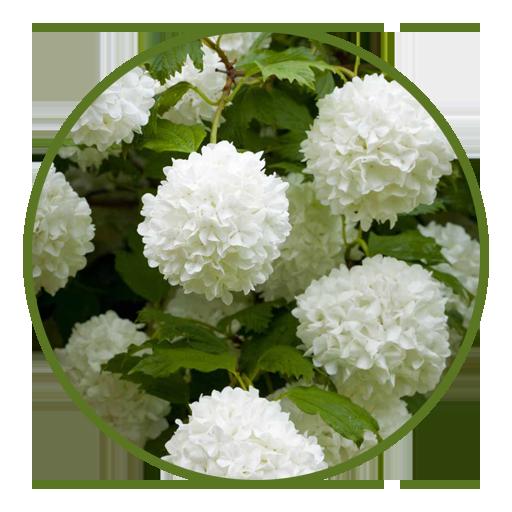 Guelder Rose - 4