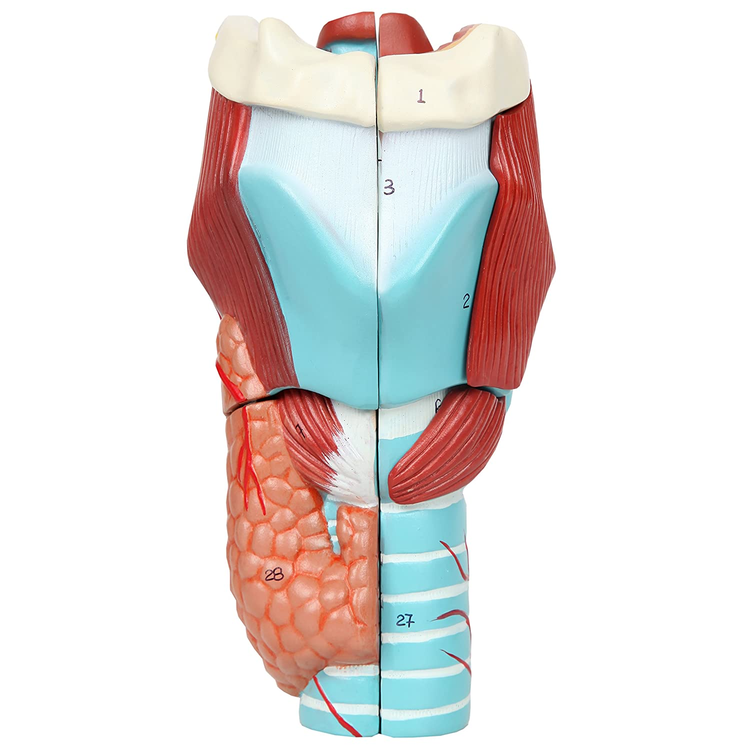 Axis Scientific Anatomy Model of Human Larynx | Model is 9 Inches Tall and 5 Times Life Size | Details Anatomy of Vocal Folds and Dissects Into 5 Parts | Comes with a Study Manual and 3 Year Warranty A-105302