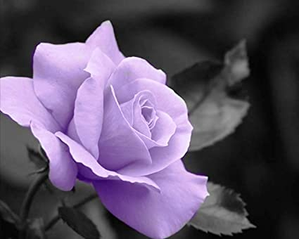 amazon com black and white with a purple rose wall art 8x10 photo