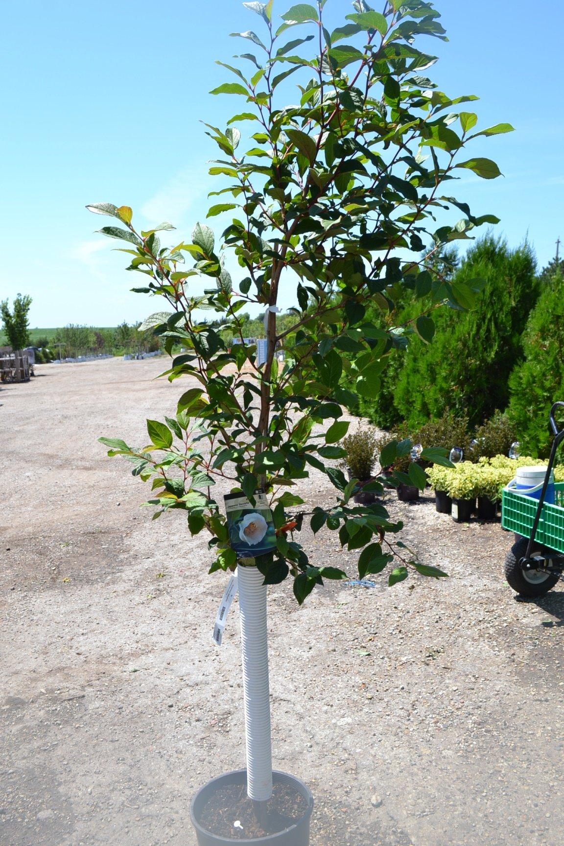 Japanese Stewartia > Stewartia pseudocamellia >Landscape Ready 5gallon Container