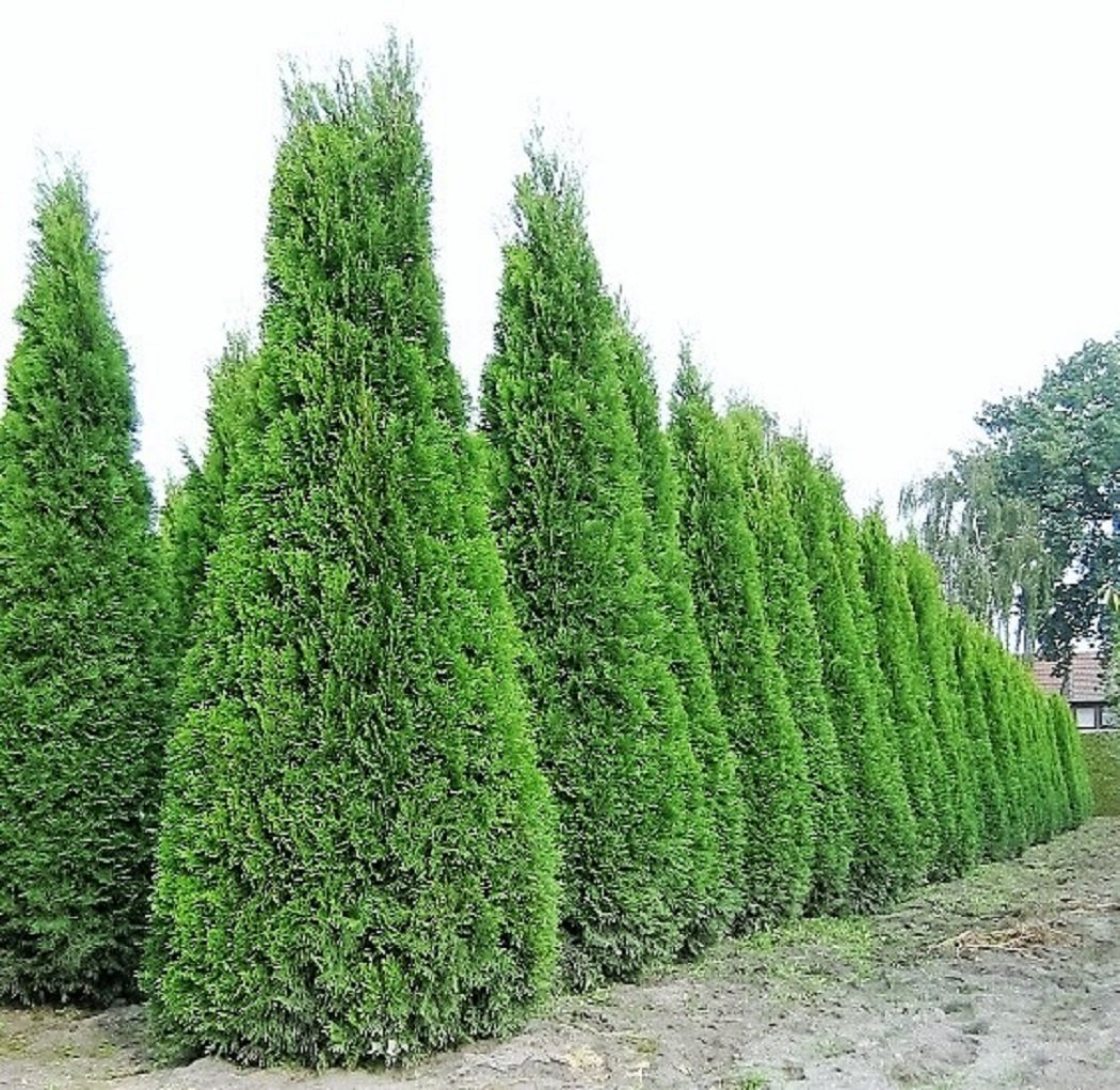 1 x riesiger lebensbaum thuja smaragd im 15 liter container in baumschulqualit t gesamth he ca. Black Bedroom Furniture Sets. Home Design Ideas