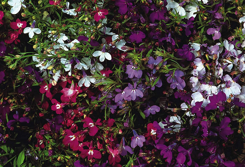 Lobelia Trailing Fountain Mix 1000 Seeds