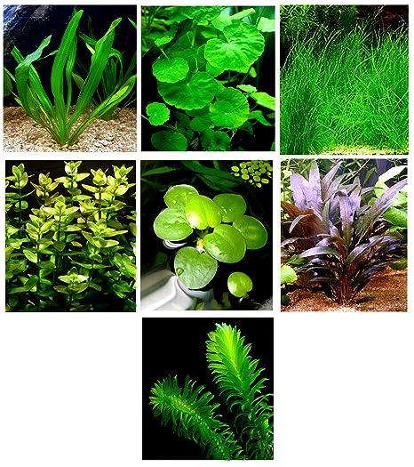 15 Plantas de Acuario vivas/7 Tipos Diferentes – Espada de Amazon, césped Enano