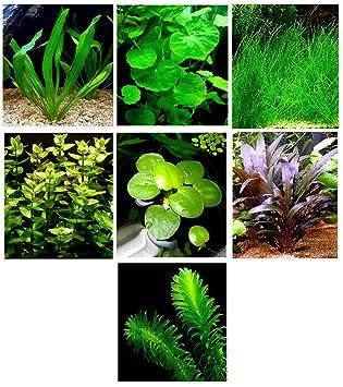 15 Plantas de Acuario vivas/7 Tipos Diferentes - Espada de Amazon, césped Enano