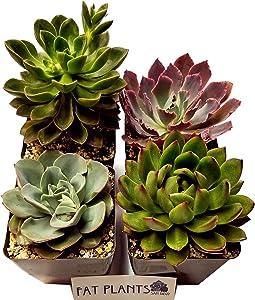 Fat Plants San Diego Large Rosette Succulent Plant Collection in Plastic Growers Pots