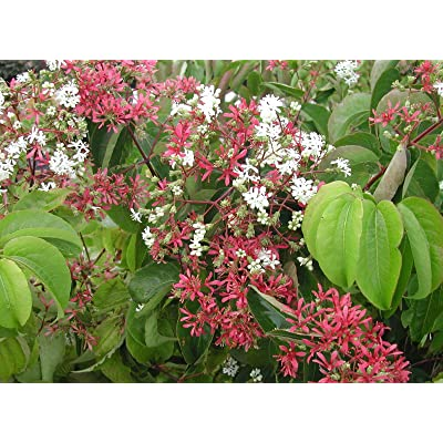 Heptacodium miconioides SEVEN SONS FLOWER Shrub Seeds! : Garden & Outdoor