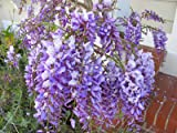 25 Seeds Blue Chinese Wisteria Seeds - Wisteria