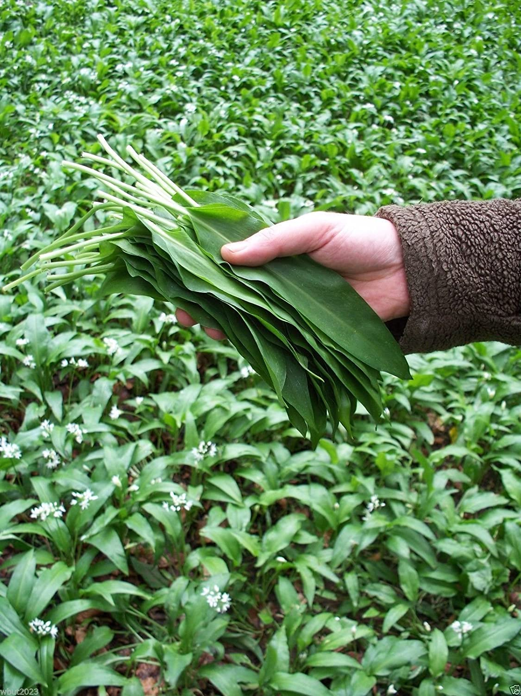 Allium ursinum ail /à larges feuilles! lail sauvage 100 graines Buckrams Ramsons