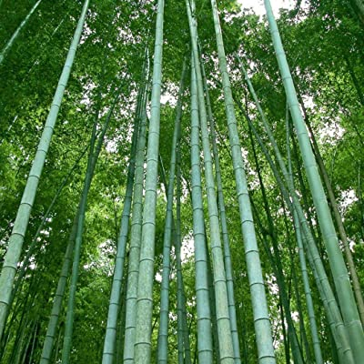 Dongdongole Garden- 20/30 Pieces Giant Moso Bamboo Seeds (Phyllostachys edulis/pubescens) Heterocycla Ornamental Plant Seeds Hardy Perennial China : Garden & Outdoor