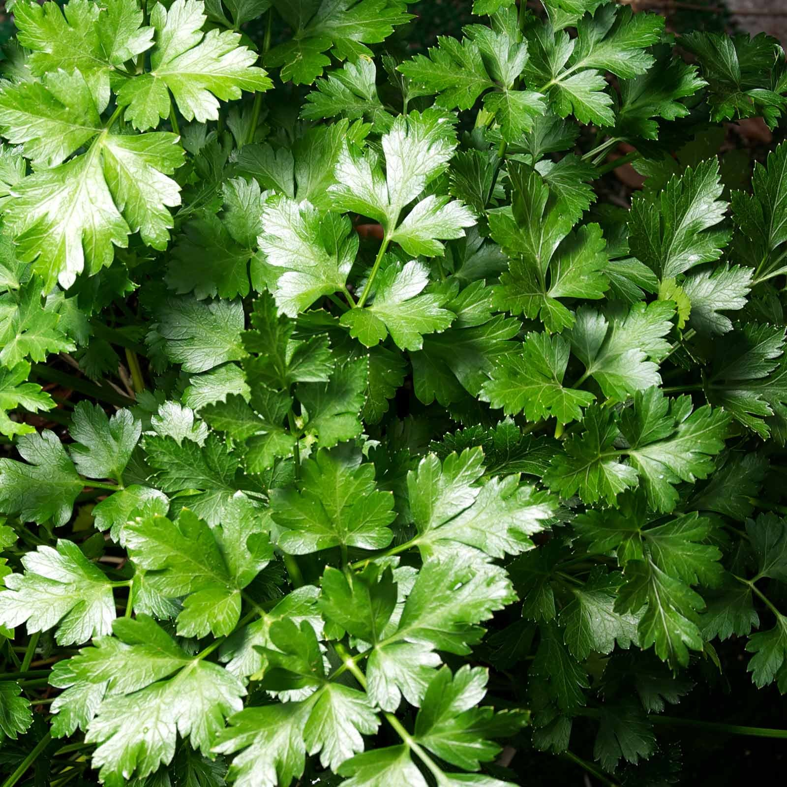 Dark Green Italian Flat-Leaf Parsley Seeds: 5 Lb - Bulk, Non-GMO Herb Seeds for Herbal Garden & Microgreens by Mountain Valley Seed Company (Image #1)