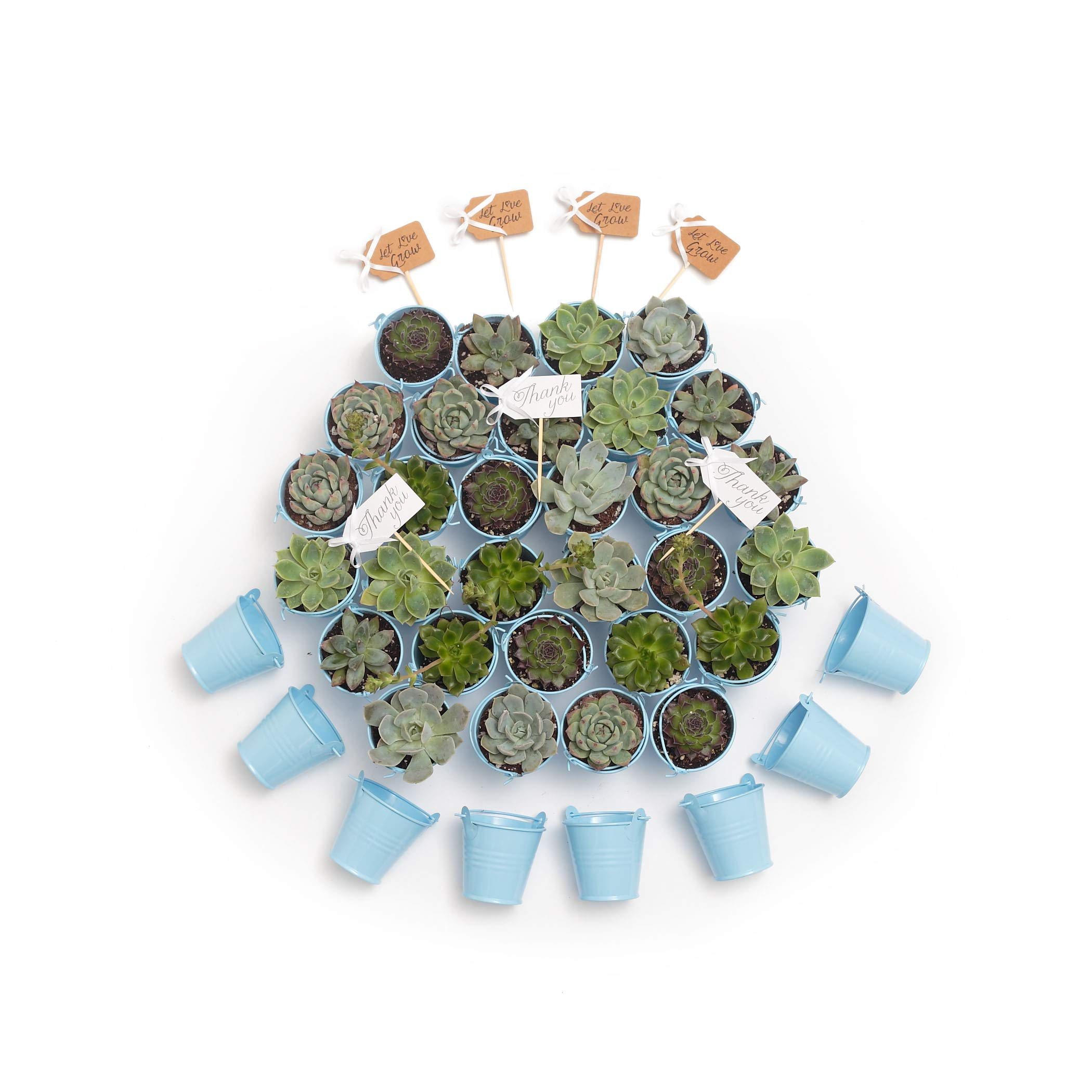 2 in. Wedding Event Rosette Succulents with Blue Metal Pails and Thank You Tags (30) by Succulent Source (Image #4)