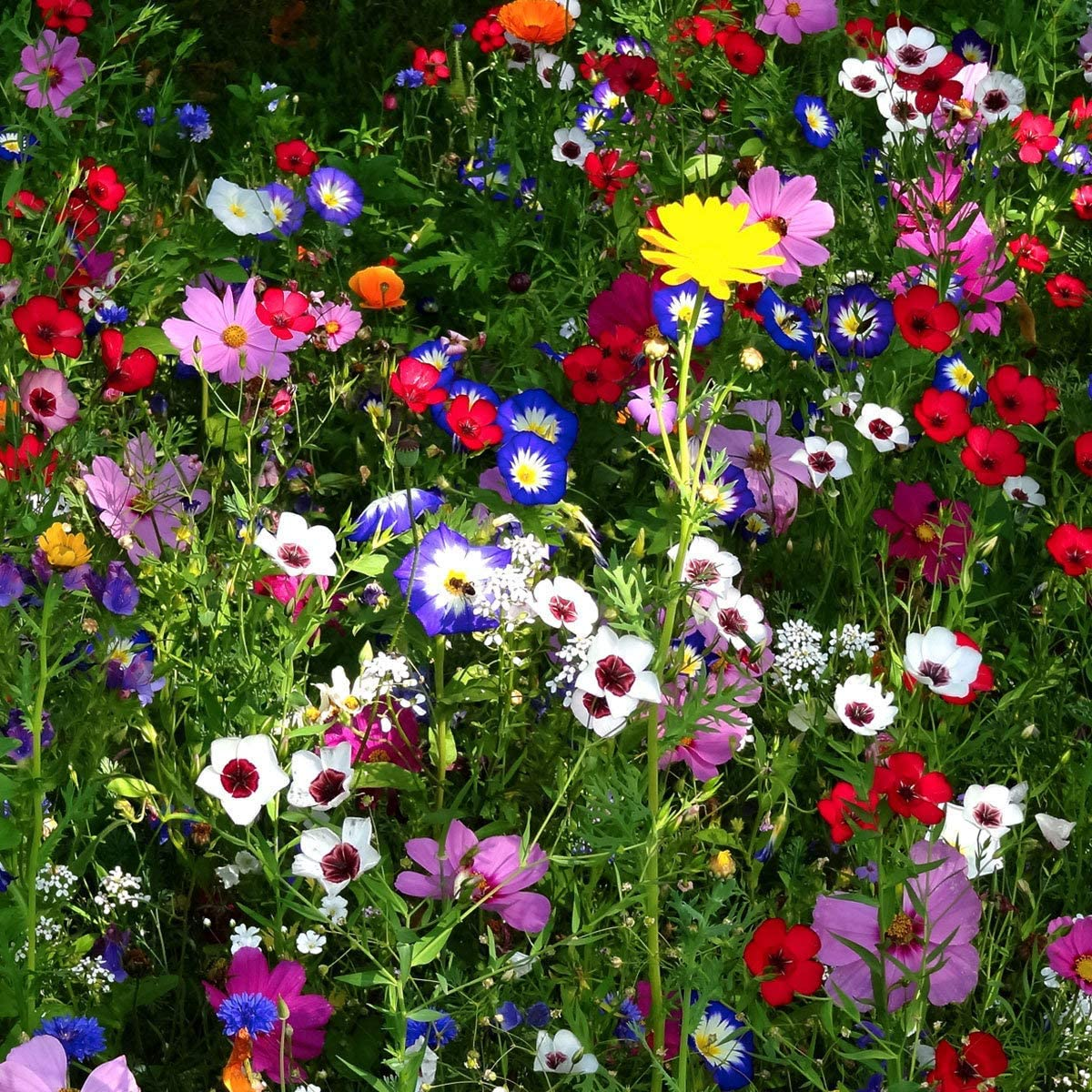 Exotic Hardy Perennial Flower Seeds Meadow bee Flower Seeds Rare beeFriendly Wild Flower for 0,5 qm