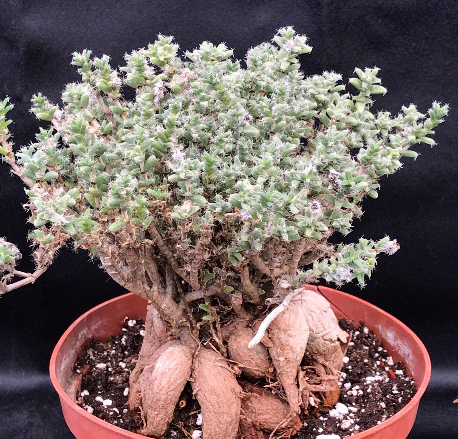 Trichodiadema Bulbosum Caudex Succulent Ice Plant African Bonsai Houseplant #DV01