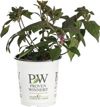 Callicarpa Pearl Plant