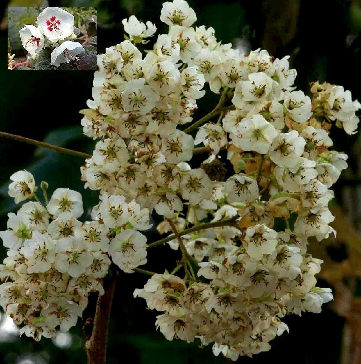 Dombeya Rotundifolia African Wild Pear Rare Tropical Bonsai Tree Seeds 5 Amazon Co Uk Garden Outdoors