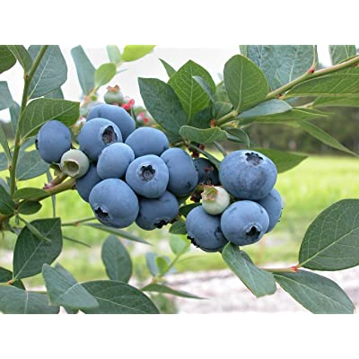 Brightwell Blueberry Bush - 1 Gallon : Garden & Outdoor