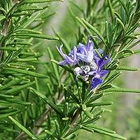 Rosemary 10 Seeds Improves Memory Italian Cuisine Culinary HERB Perennial Garden