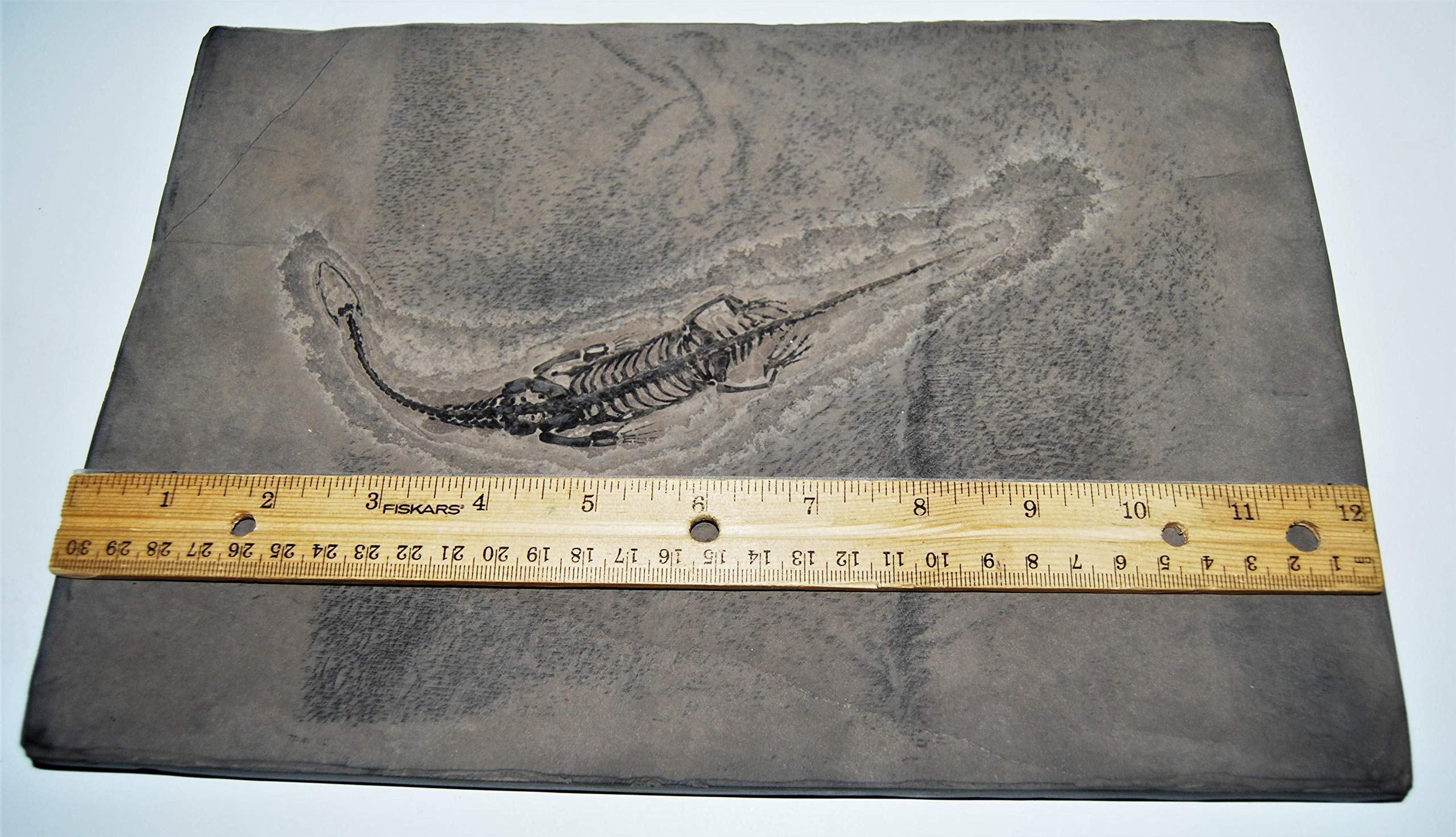 Keichousaurus Hui Dinosaur Unique and Amazing Fossil Rare #14313 83o by Fossils, Meteorites, & More (Image #3)