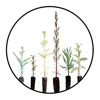 Redwoods of The World   Collection of 6 Live Tree Seedlings   The Jonsteen Company : Garden & Outdoor