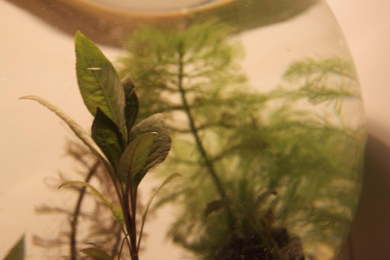 Mini Mondi Biotop - Minia Qua rium - Wabi kusa Pecera - 30 cm, juego completo Medio, XXL Planta del paquete, y de suelos preciosas Media: Amazon.es: ...