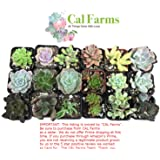 """CAL Farms 2"""" Beautiful Assorted Variety Succulents for Weddings or Party Favors or Succulent Gardens (Pack of 36)"""
