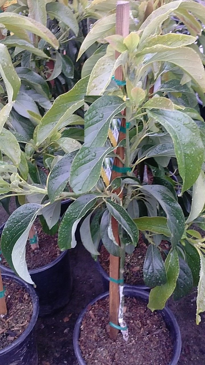 9EzTropical - Little Cado Dwarf Avocado - Grafted Tree - 1 to 2 Feet Tall - Ship in 1 Gal Pot