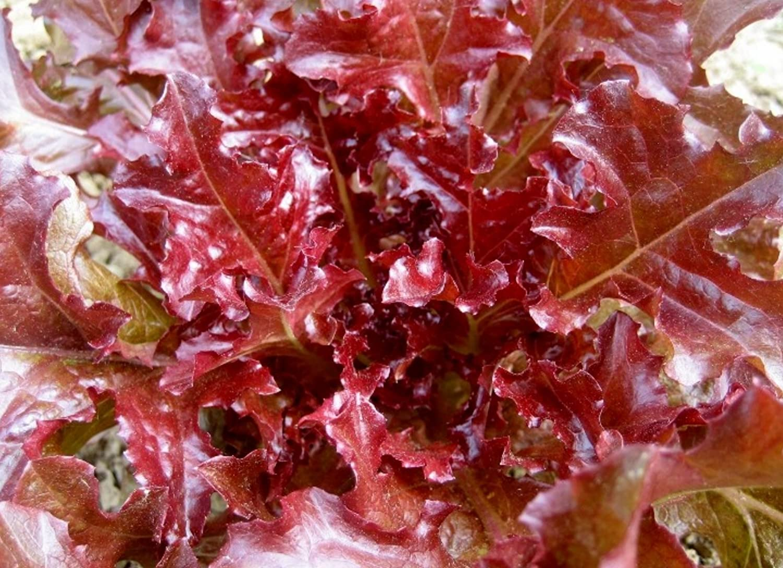 Buttercrunch Lettuce Seeds 1 Ounce 2021 Seeds  Garden or Micros 22,000