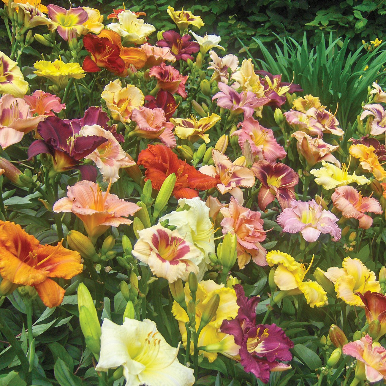 Van Zyverden Daylilies - Kitchen Sink Breeder's Mixture - Set of 12 Roots