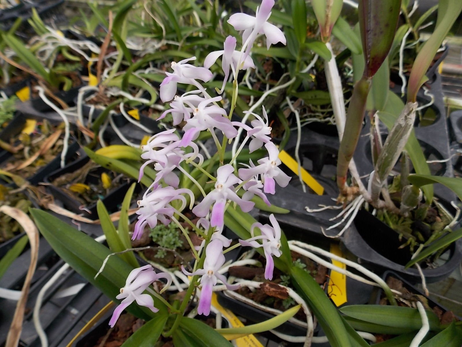 Neostylis Lou Sneary- blue color! Hard to find! Easy! FRAGRANT!- Orchid Plant by Kawamoto Orchid Nursery