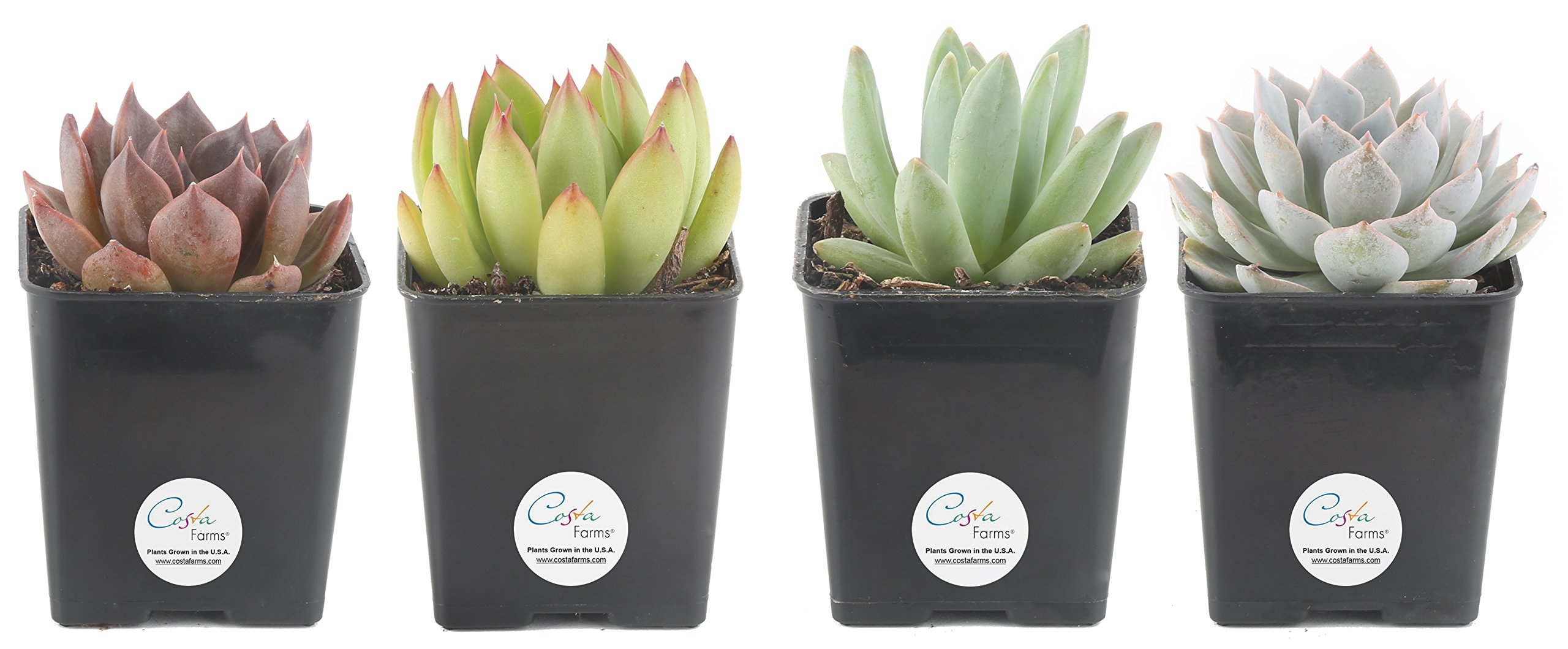 Costa Farms Premium Live Jumbo Mini Echeveria Succulent Plant, Set of 4, Grower Choice Assortment, Fully Rooted, Ships in 2.5-Inch Grower Pot, Fresh from Our Farm
