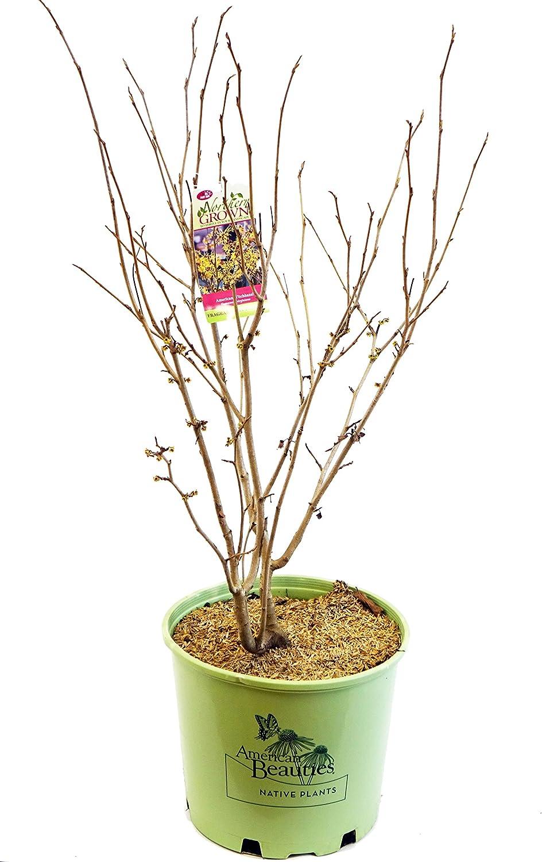 Size Container #3 Shrub American Beauties Native Plants Hamamelis ...