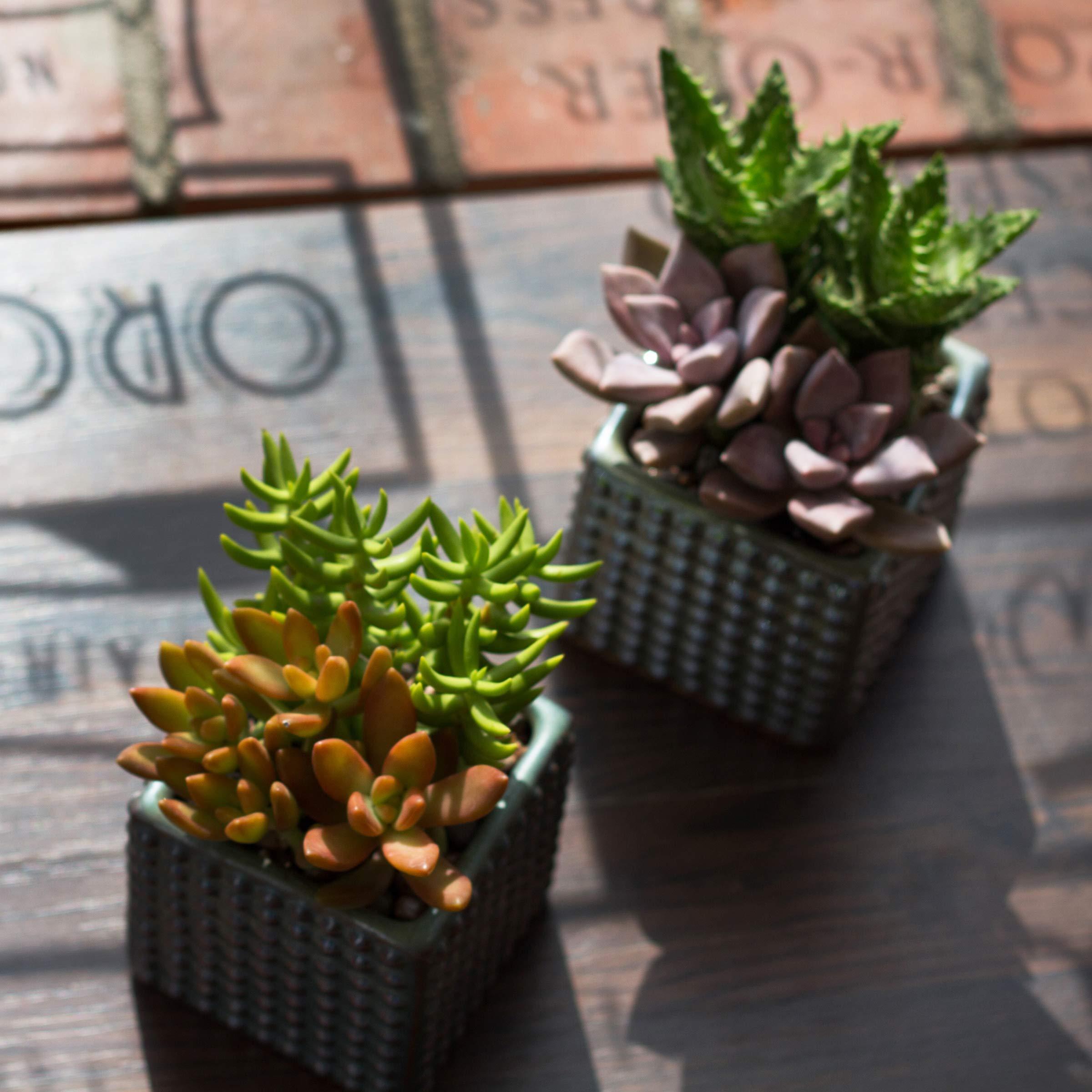 Altman Plants Mini Live Assorted Succulents Weddings, Party favors, DIY terrariums, Gifts 2'' 20 Pack by Altman Plants (Image #6)
